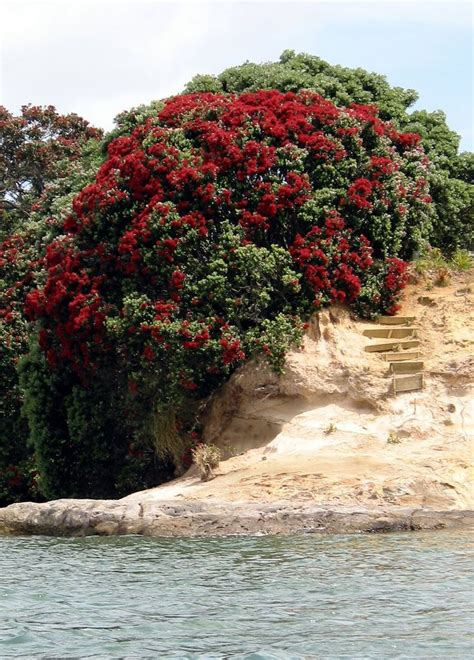 17 best images about pohutukawa love on pinterest