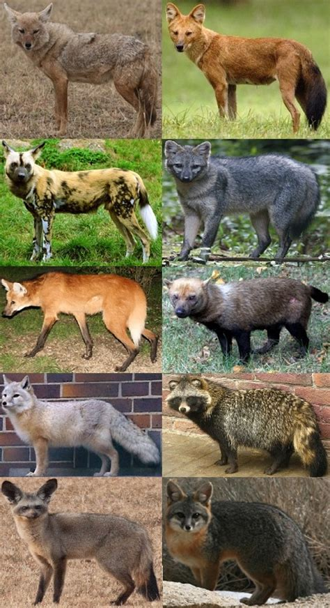 species canine canidae