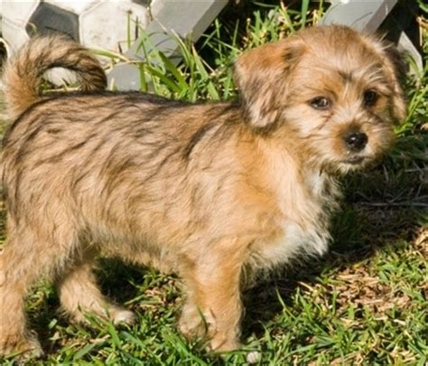 min pin and shih tzu mix pin tzu breed information and pictures