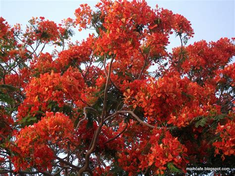 top 28 most beautiful flowering trees the most beautiful flowering trees in your garden