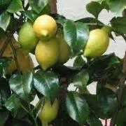 concimazione agrumi in vaso concimazione limoni in vaso concime come concimare
