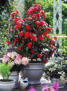 Potted garden camellia flame and rhododendron yakusimanum grow