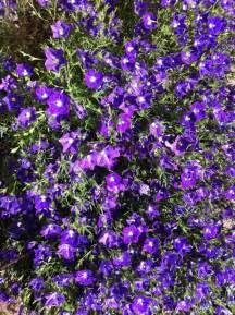 purple flowers yellow center bushy plant pic flowers forums