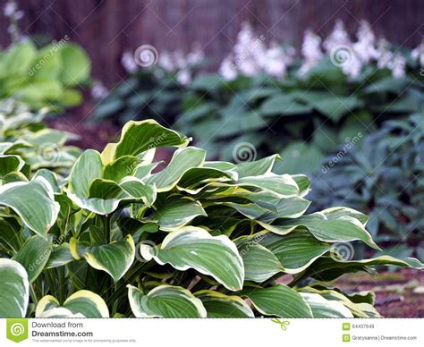 ornamental foliage plants hosta stock photo image 64437649
