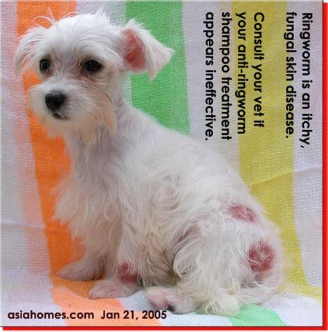 how do dogs get ringworm 031208asingapore veterinary cat rabbits hamster veterinarian veterinary fees