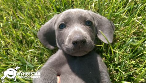 weimeraner puppies image gallery weimaraner puppies
