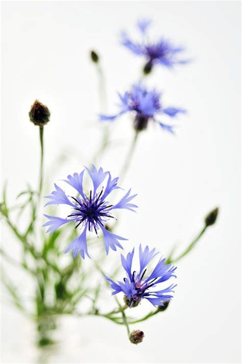 corn flower blue flower inspiration 85 best bl 229 klint cornflower cyanus segetum images on