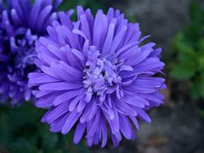 pictures of aster flowers beautiful flowers