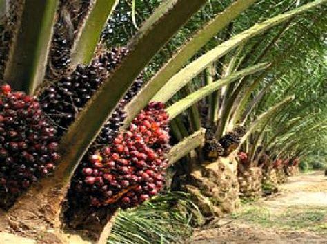 Minyak Kelapa Sawit Turun minyak mentah merosot harga tbs kelapa sawit turun