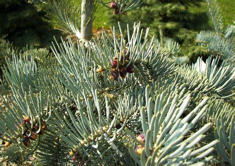 pflanzen kaufen koniferen 009 schneiden pflanzen kaufen pflege abies