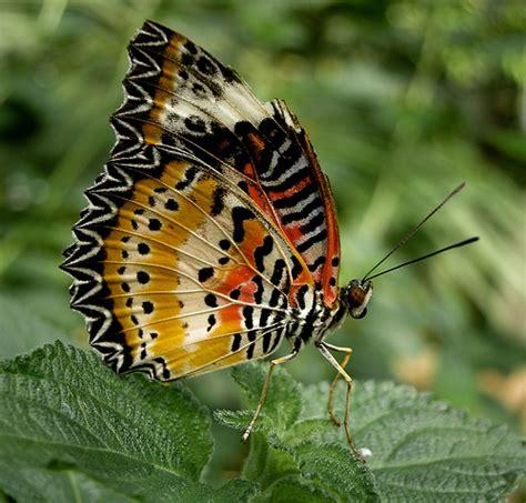 wallpaper cantik kupu kupu 20 gambar kupu kupu cantik