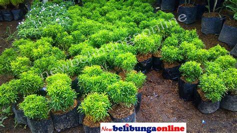 jual tanaman hias daun brokoli hijau  lapak