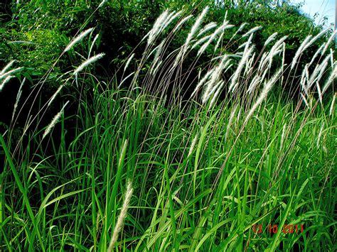 Herbilogy Cogon Grass Alang Alang imperata cylindrica l p beauv bukit tagar selangor flickr