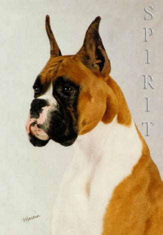 boxer puppies dallas boxer for sale in boxer for adoption in alvin tx usa being one of the