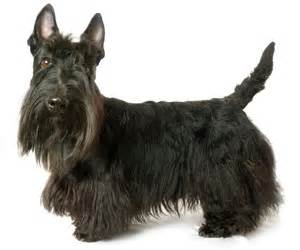 hair cuts for a scottish terrier pet grooming products tips wahlpets com care for my