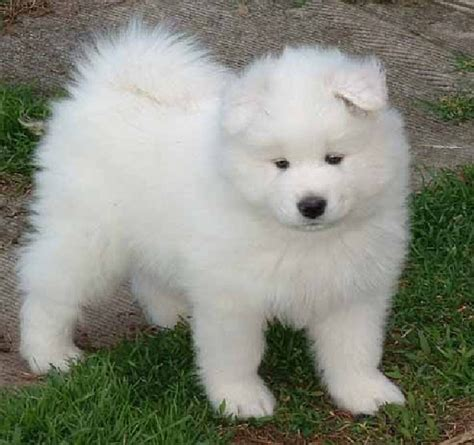 samoyed dogs samoyed is a fluffy gorgeous and companion pouted magazine