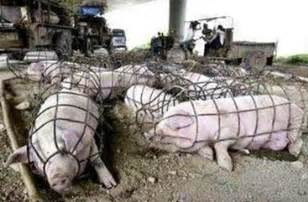 l 233 levage de porcs la des etats unis