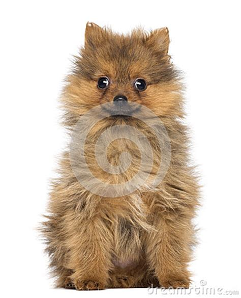 2 month pomeranian puppy smiling pomeranian puppy 2 months sitting stock photos image 30817683