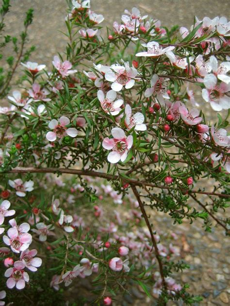Dark Green Foliage Plants - leptospermum pink cascade provincial plants and landscapes