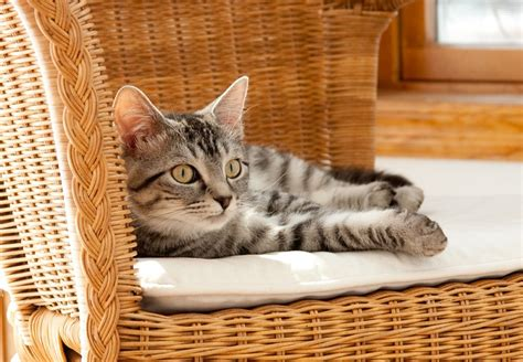 come tenere un gatto in casa prendere un gatto in casa consigli pratici zz7