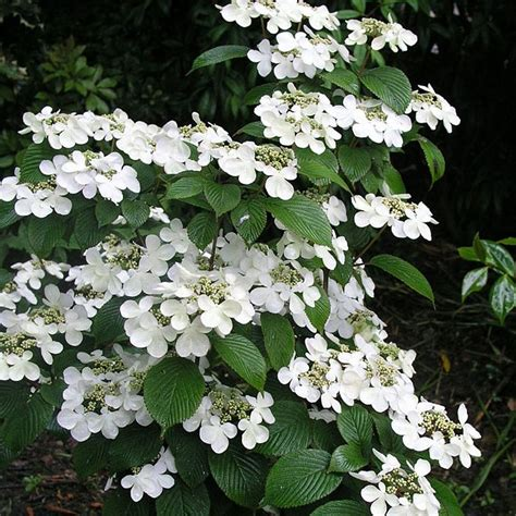shrub with white flowers 25 best ideas about white flowering shrubs on