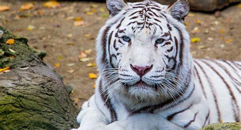 imagenes de tigres de bengala image gallery tigre blanco