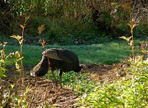 Garden Of Turkey Turkeys Thanks But No Thanks Leslie Land In