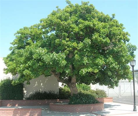 shade tolerant fruit trees where to buy san diego shade tree brisban box tristania