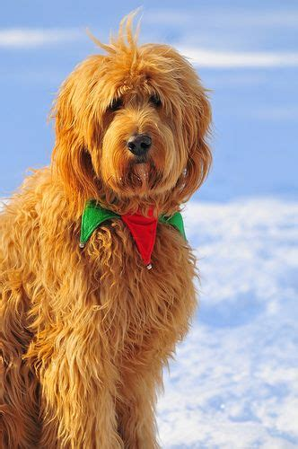 face hairstyle goldendoodle photos and doodles on pinterest