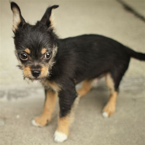 chihuahua mixed with rottweiler go back gt pix for gt chihuahua rottweiler mix breeds picture