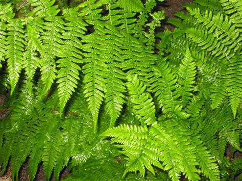 Flower Decorating Tips Four Fabulous Ferns