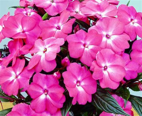 nuova guinea fiori pianta nuova guinea piante annuali caratteristiche