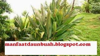manfaat khasiat daun andong  kesehatan tubuh