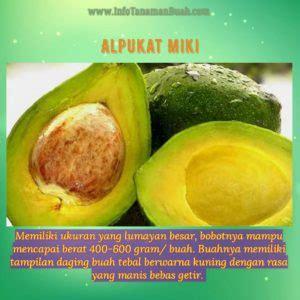 Bibit Alpukat Tanpa Ulat bibit alpukat mentega miki buah alpukat kecil namun rasa