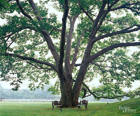 best shade trees for backyard the best shade trees for your yard suits the oaks and plants