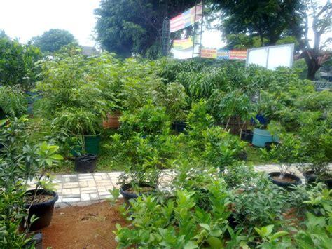 Jual Bibit Cengkeh Bekasi jual bibit mangga di bekasi 0878 55000 800 jual bibit tanaman buah mangga 0878 55000 800