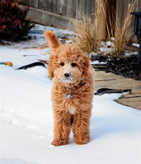 Zolo The Mini Goldendoodle F1b Zolo Blizzard