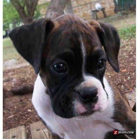boxer puppies seattle 25 best ideas about brindle boxer on brindle boxer dogs brindle boxer