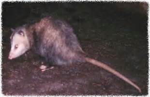 Get Rid Of Possums In Backyard Phillip Seymour Hoffman Died Page 15 Mtbr Com