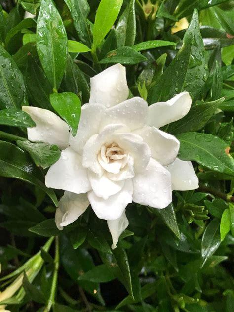 jubilation gardenia gardenia jasminoides