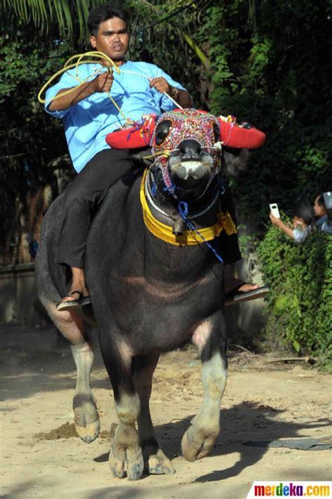 Sho Kuda Di Mahmud Bandung foto serunya pertandingan balap kerbau dalam festival