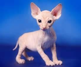 aviez vous d 233 j 224 vu un b 233 b 233 sphynx ces chats sans poil