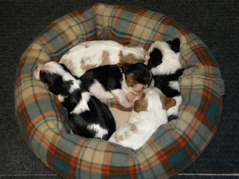 breeder directory cavalier king charles spaniel club of canada