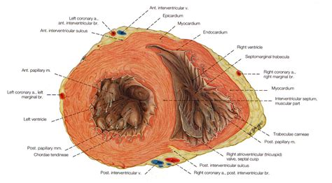 sectional anatomy of the heart ventral view of the heart images frompo
