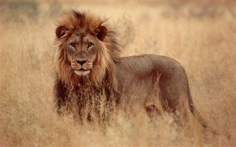 imagenes de leones para portada de facebook el le 243 n de la tribu de jud 225 versus el le 243 n rugiente