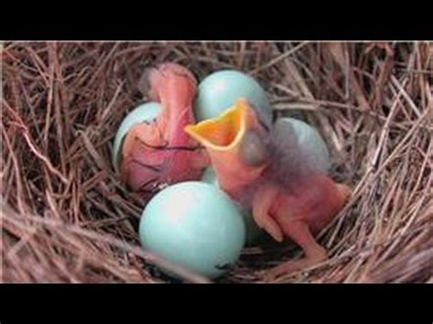 how to hatch bird eggs bluebirds how does it take for bluebirds to hatch