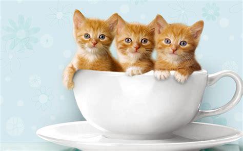 beautiful kittens three cats wallpapers free beautiful desktop wallpapers 2014