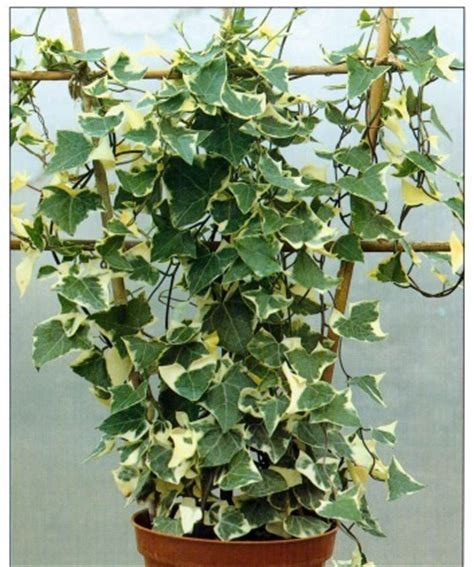 how to plant a climbing how to grow climbing plants