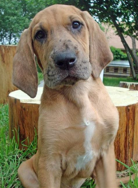 bloodhound golden retriever mix etta the great dane mix puppies daily puppy