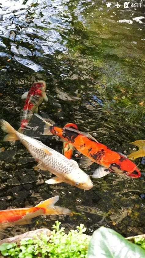 Koi Live Wallpaper Full Version For Android | unique android koi live wallpaper apk kezanari com